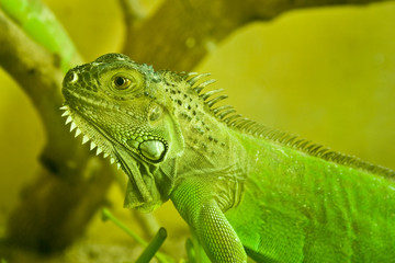 Little Iguana