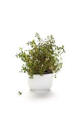 Thymianpflanze im Porzelangefäß