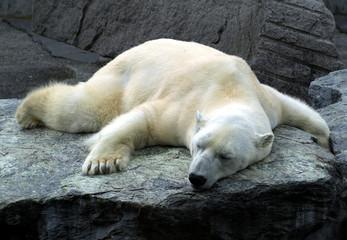 müder und schlafender Eisbär