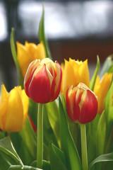 Das andere Tulpenpaar
