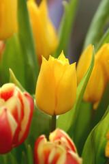 Mittendrin - im Tulpenstrauss
