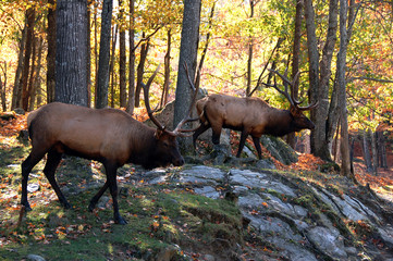 Elks (Cervus canadensis) in autumn