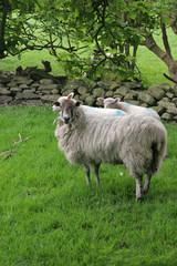 Surprised Sheep