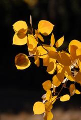 Branch of Yellow Aspen Leaves