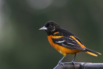 Fotoväggar - Northern Baltimore Oriole