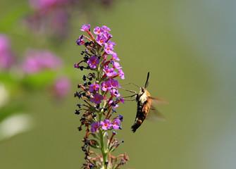 Fotoväggar - Hummingbird Moth