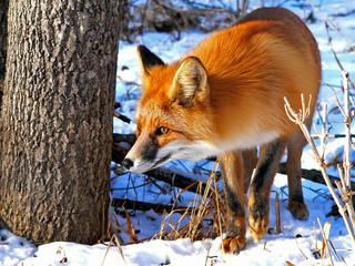 Red Fox 34