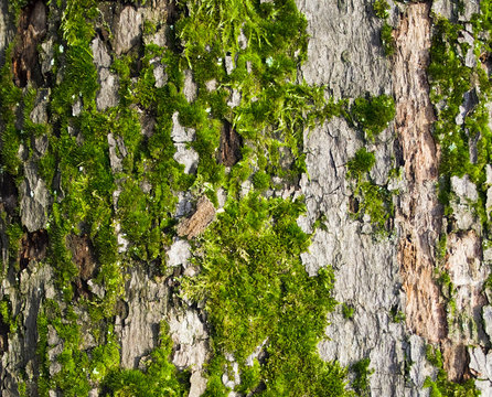 Texture of tree bark with moss