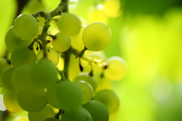 Wall Mural - Close-up of a bunch of grapes on grapevine