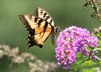 Fotoväggar - Tiger Swallowtail Butterfly on Flower