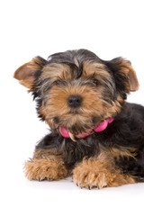 Yorkshire Terrier (York) puppy lays on a white background.