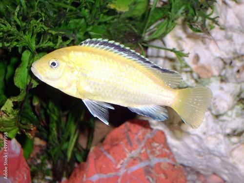 Acurio peces tropicales agua dulce fotos de archivo e - Peces tropicales fotos ...
