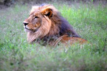 Head Lion