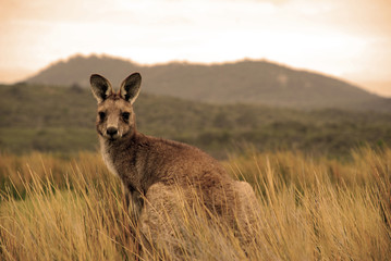 Photo sur Plexiglas Kangaroo Wild kangaroo in outback