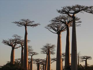 Printed roller blinds Baobab baobabs