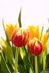 Frühling - Tulpenpaar im Gegenlicht