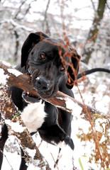 Great Dane in winter