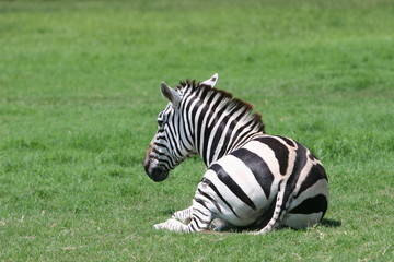 zebra relaxing