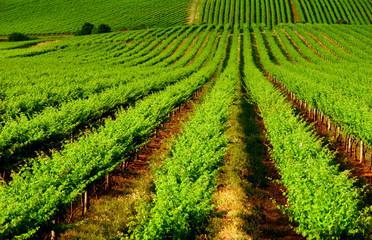 Fototapete - Rolling Vineyard