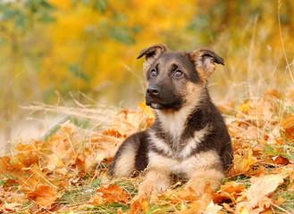 German Shephard dog puppy