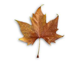 Autumn isolated leaf