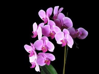 Ramo di orchidee rosa su sfondo nero