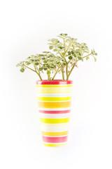 Potplant isolated on white background
