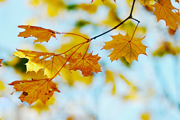 Autumn foliage on a background of the sky