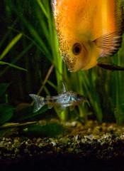 aquarium d'eau douce