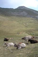 Troupeaux de vaches dans les Pics d'Europe (Cantabrie)