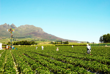 Field of strawberries full of scarecrows