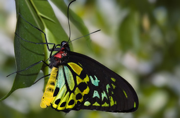 beautiful green and black butterfly hangs on a leaf