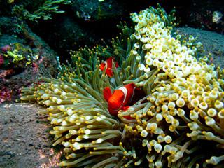 poissons clowns dans leur anémone