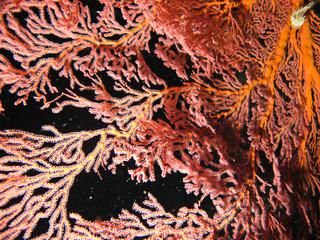 gorgonne en plongée de nuit