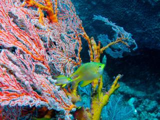 poisson jaune et gorgonnes rouges