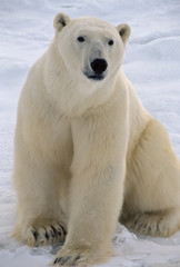 Polar bear in the Canadian Arctic