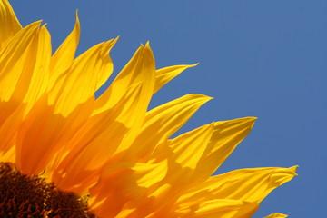 Sunflower's petals