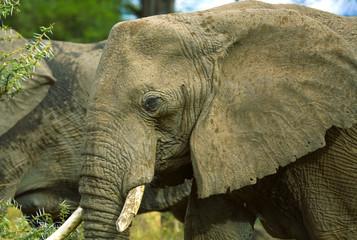 Wall Mural - Head African Elephant