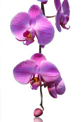 isolated orchid on white background