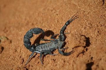Schwarzer Skorpion in der Sahara