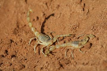 Zwei Skorpione im Sand der Sahara