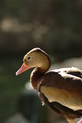 Brown Duck 2