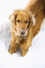 Golden Retriever with snowy snout.