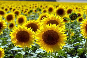 Flower of a sunflower
