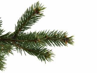Christmas Tree Limb