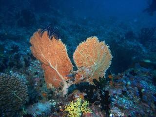 koralle wie lungenflügel