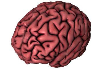 Human brain oblique view on white background