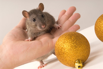 Rat with New Year's balls on a grey background