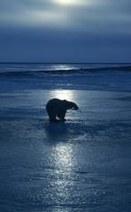 IJsbeer op bevroren Arctisch meer bij zonsondergang