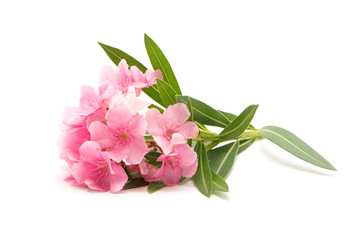 Pink oleander flower on isolated white background